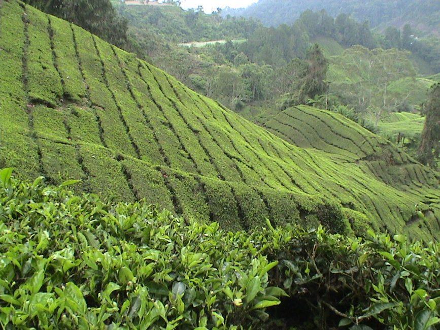 Tea Time in Cameron Highlands Malaysia