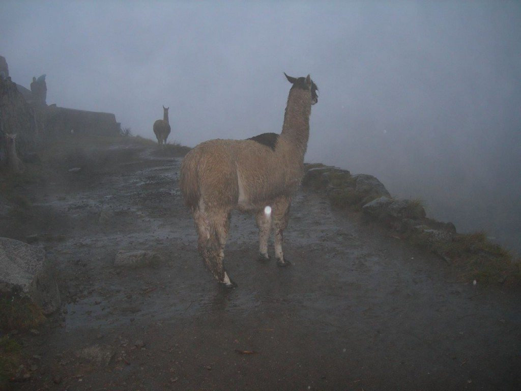 Llamas in the mist of Machu Picchu