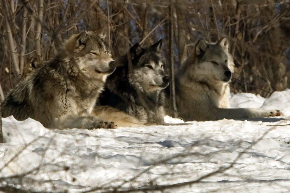 Grey Wolf Alpha Male;centre, Beta Male;left Alpha Female;right
