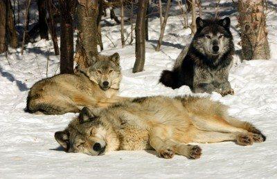 wolves of haliburton forest wolf center
