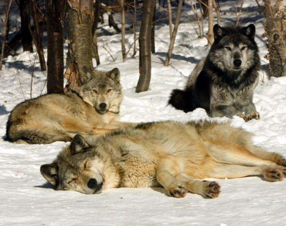 The Grey Wolf Sanctuary of Haliburton Forest