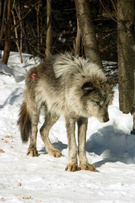 The Poor Omega Grey Wolf of Haliburton