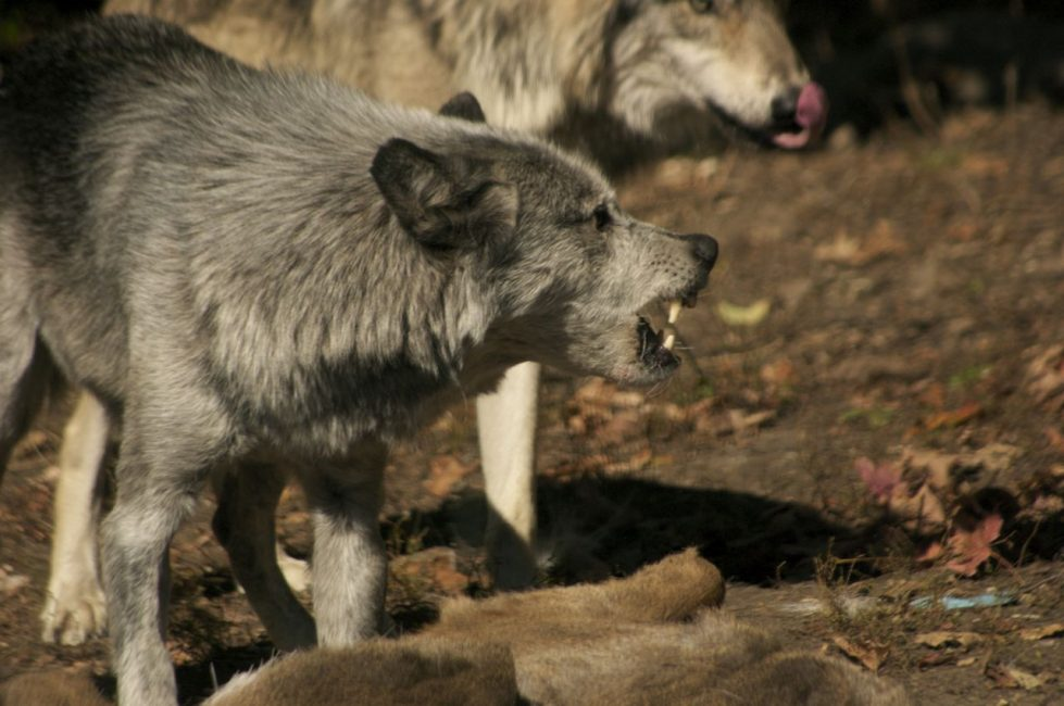 Grey wolves Defending their hierarchy