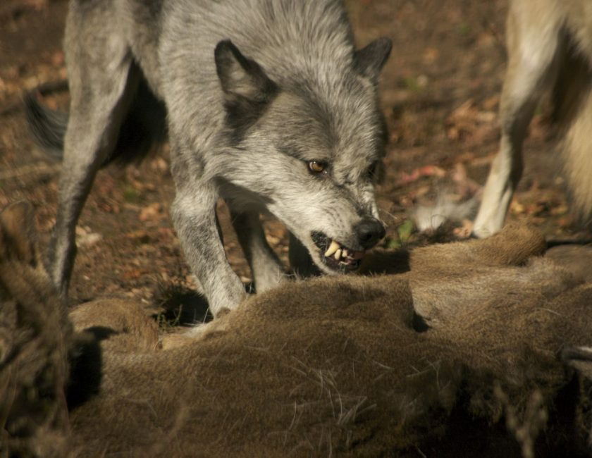 Grey Wolf Looking Vicious as they Feed