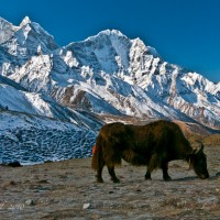 Yaks graze as we bid farewell to Dingboche
