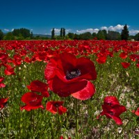 Poppy Field in France!