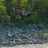 A mother moose and her calf near the rivers edge!
