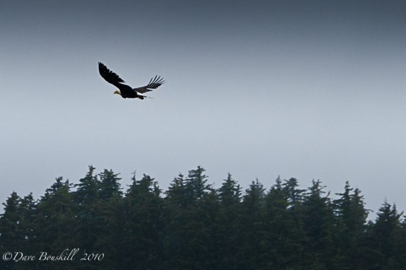 Alaska-Juneau-Whale-Watching-Bald-Eagle
