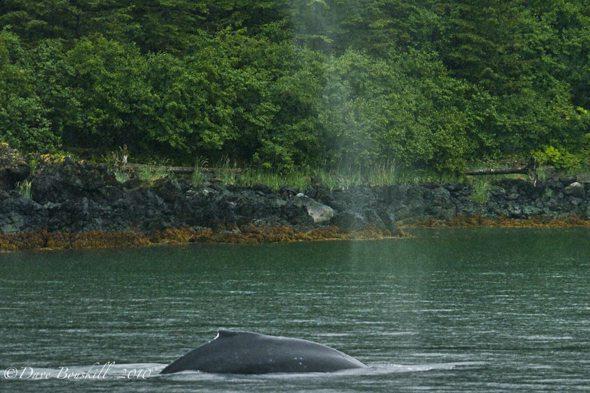 Alaska-Juneau-Whale-Watching-Humpback-Blow