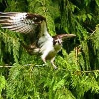 An Osprey takes flight in the Capilano Conservation Area, Vancouver, B.C. Canada