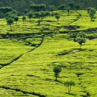 Sri-Lanka-Tea-Plantation-Fields