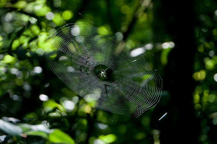 spiders-rainforest-st-kitts-volcano