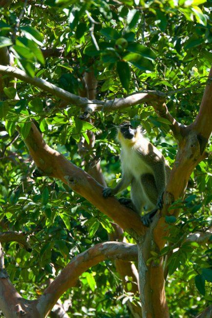monkey-st-kitts-caribbean