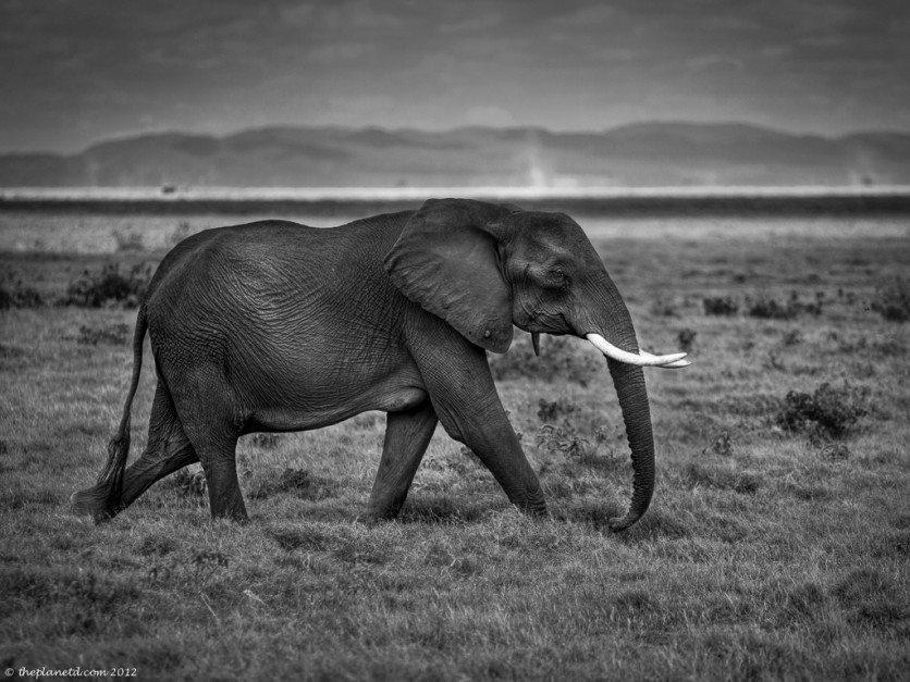 African-elephant-kenya-