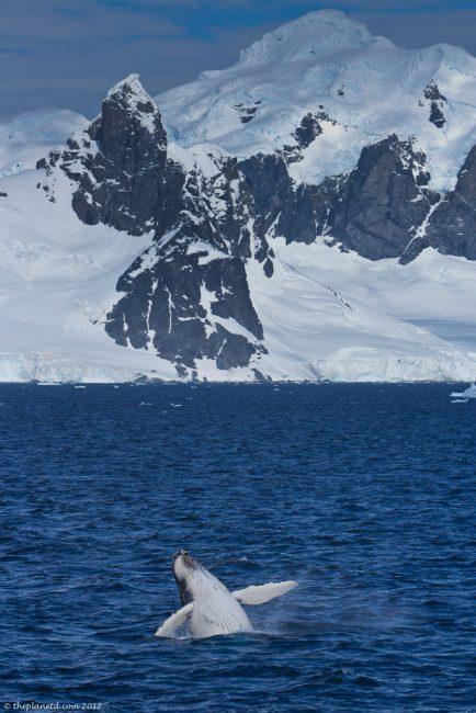 Humpback-whale-breaching-antarctica