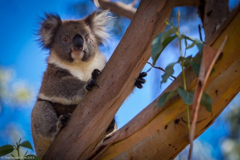 fly Air New Zealand to visit Australia - koala