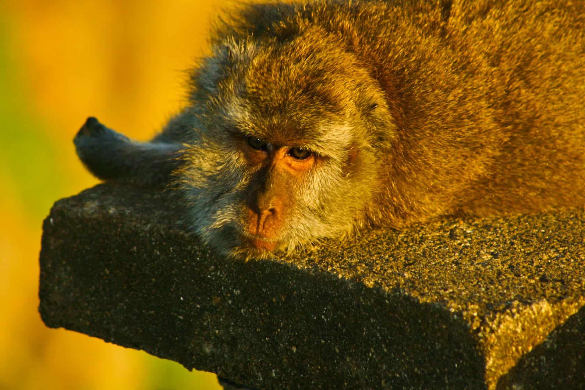 monkey at ubud monkey forest bali
