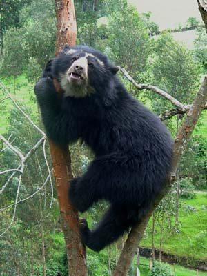 Bear Up A Skinny Tree