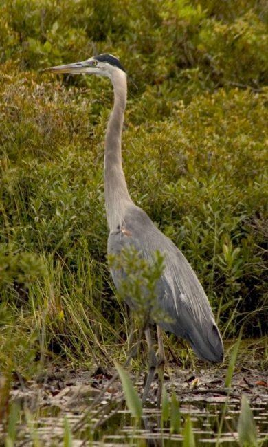 Heron Algonquin Park