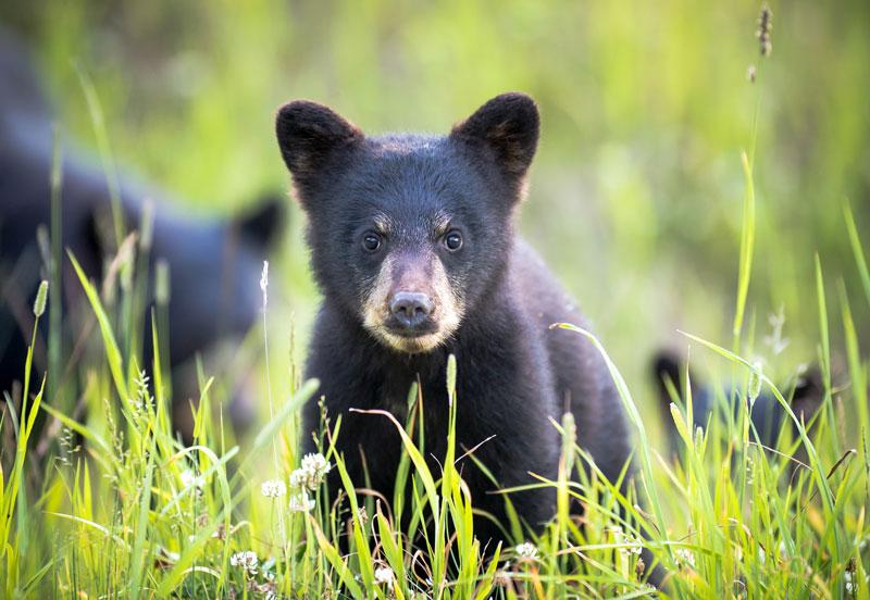 black bear whistler