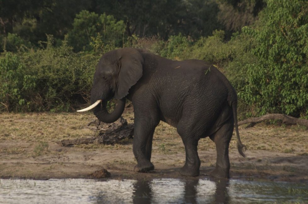 An Elephant in Chobe National Park, Luckily not in our Camp