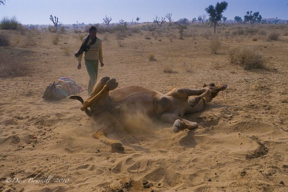 Camel Rolling on Ground in Rajasthan Desert, India