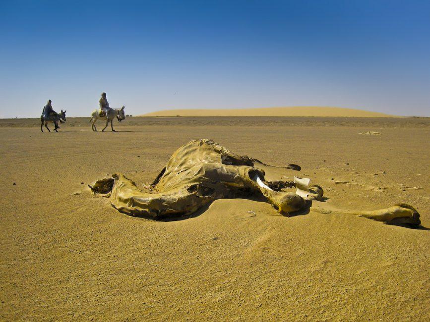 Camel-desert-sudan