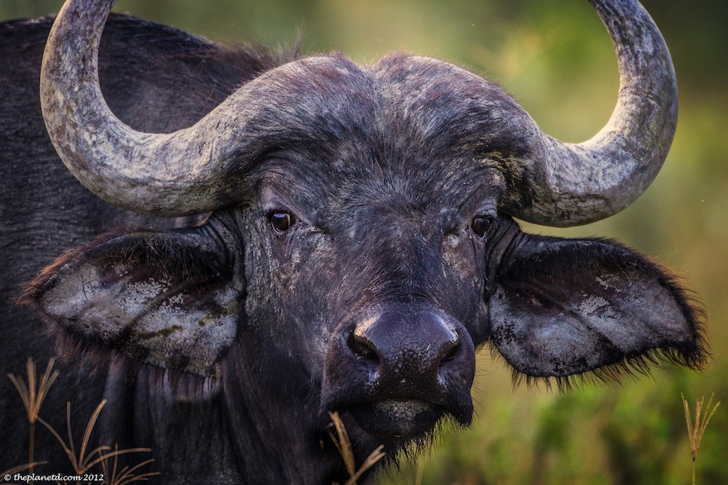 africa big 5 cape buffalo