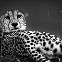 Cheetah-amboseli-monochrome-1