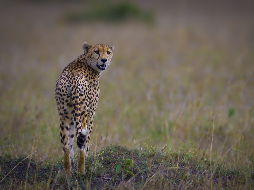 The Cheetah of the Masai Mara, Kenya