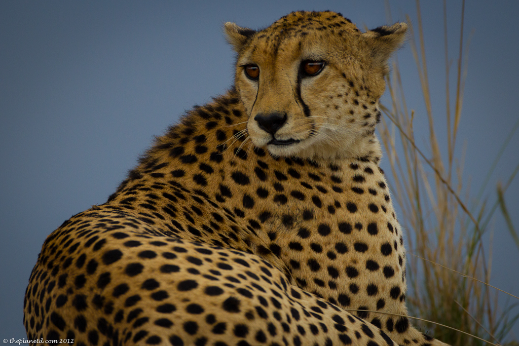 Cheetah Gaze in kenya