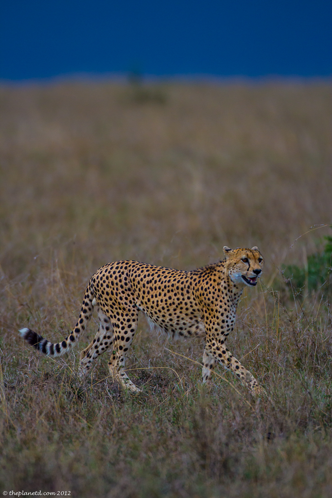 Cheetah running in the masai mara