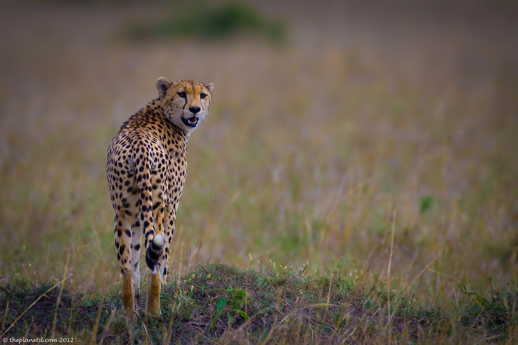 Cheetah in the Masai Mara, Kenya