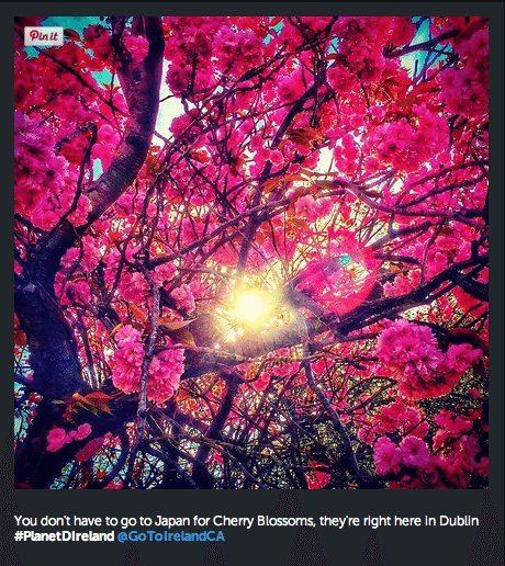 Cherry Blossoms in Dublin
