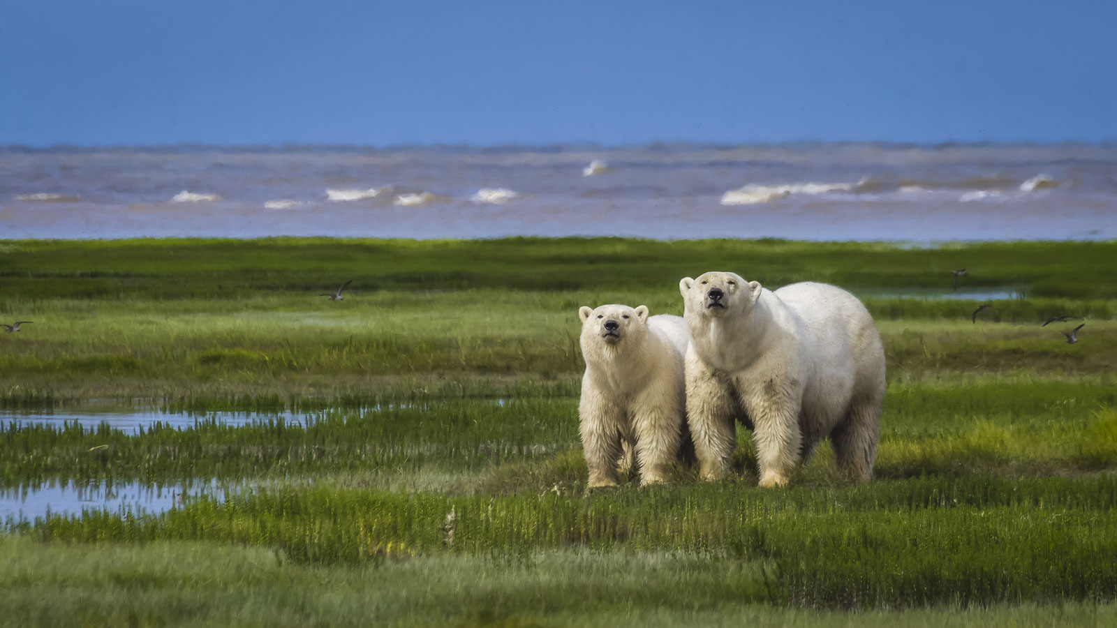 earth day polar bears affected by climate change
