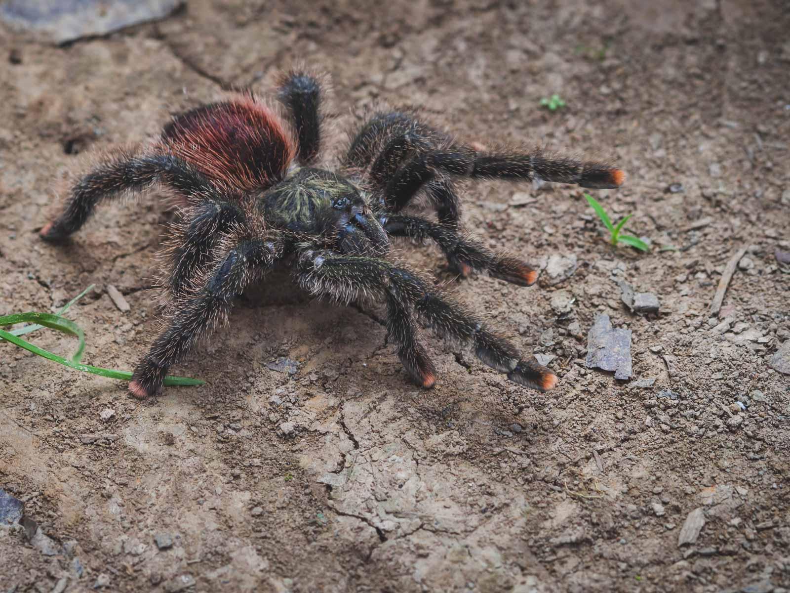 Amazon River Spiders