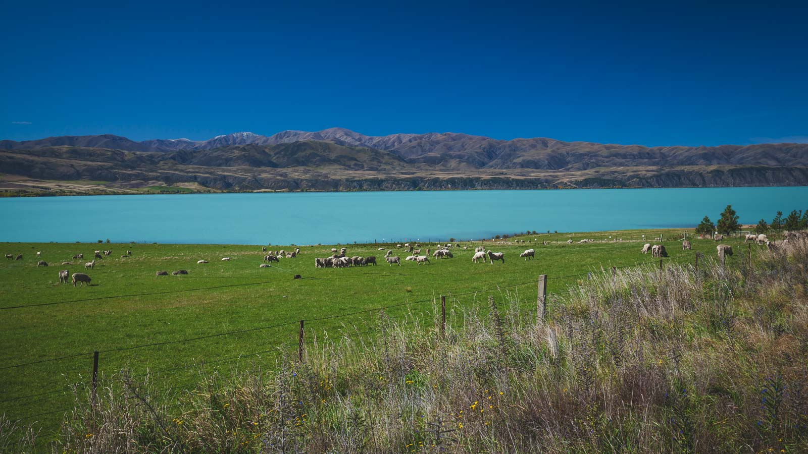 Fun Facts about New Zealand Sheep