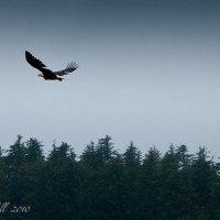 Fauna-Alaska-Bald-Eagle