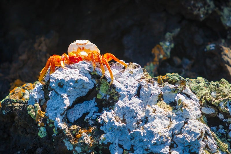 Galapagos Islands Ecuador colourful crab