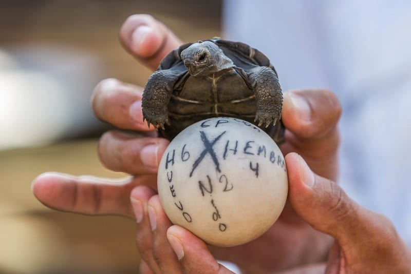 Saving the Giant Tortoises of the Galapagos on Santa Cruz