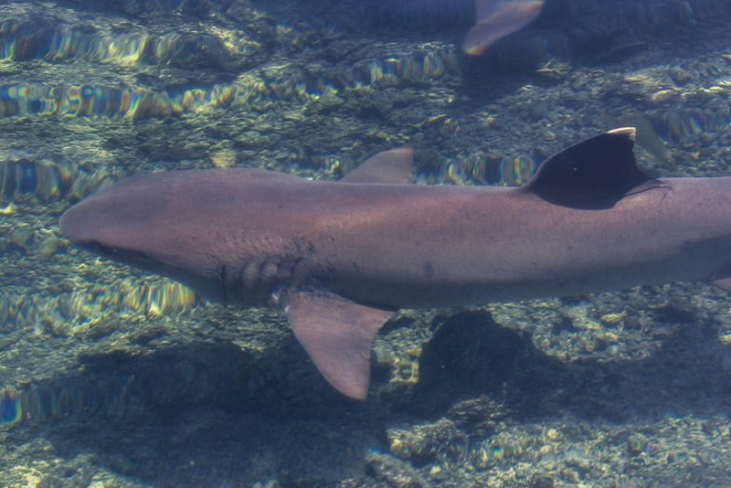 The White tipped reef shark in the Galapagos