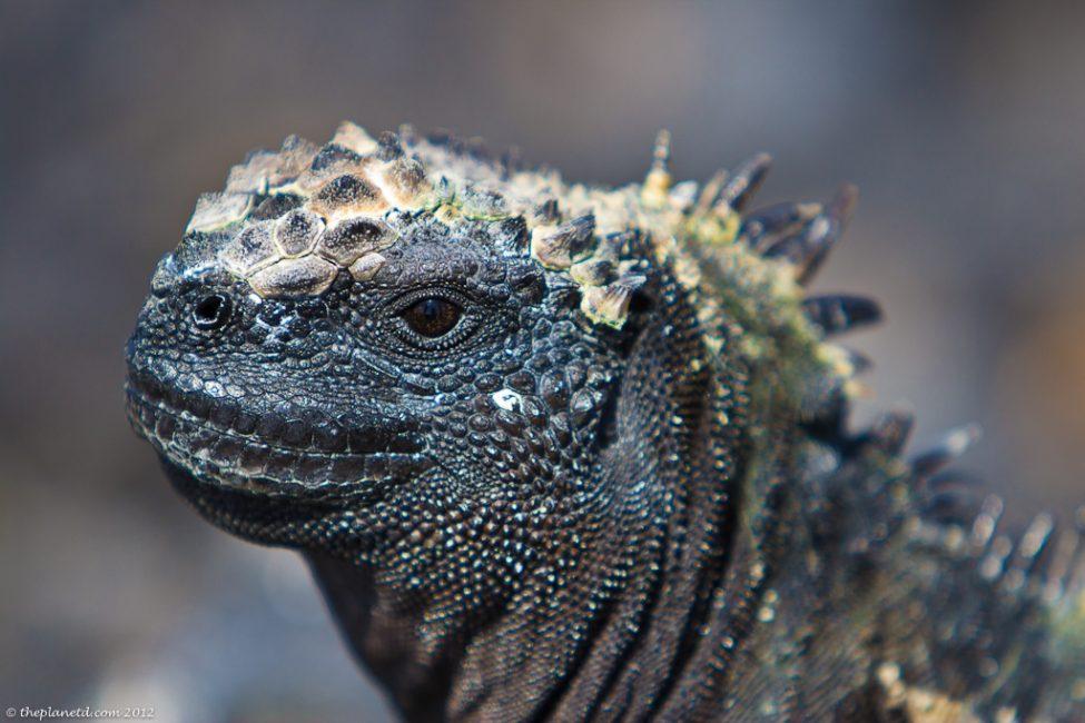 marine-iguanas-galapagos