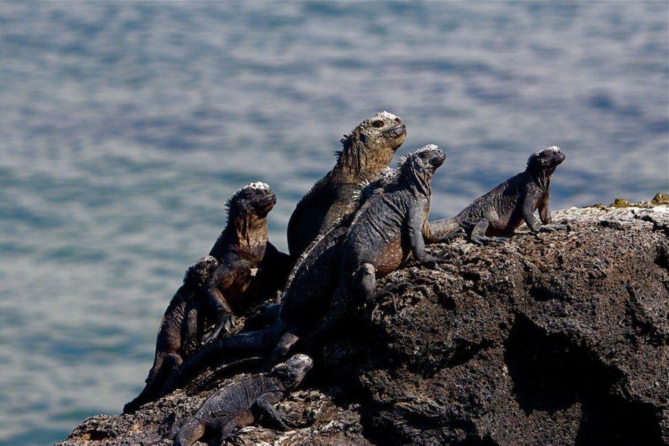 marine iguanas galapagos