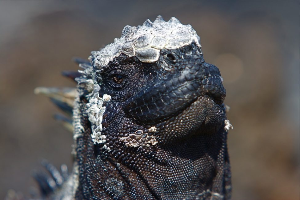 marine iguanas white wig galapagos