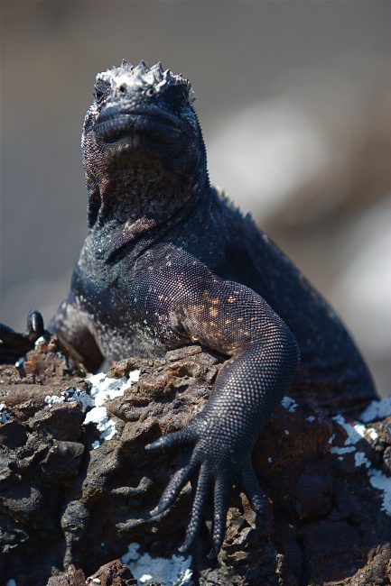 marine iguana galapagos islands