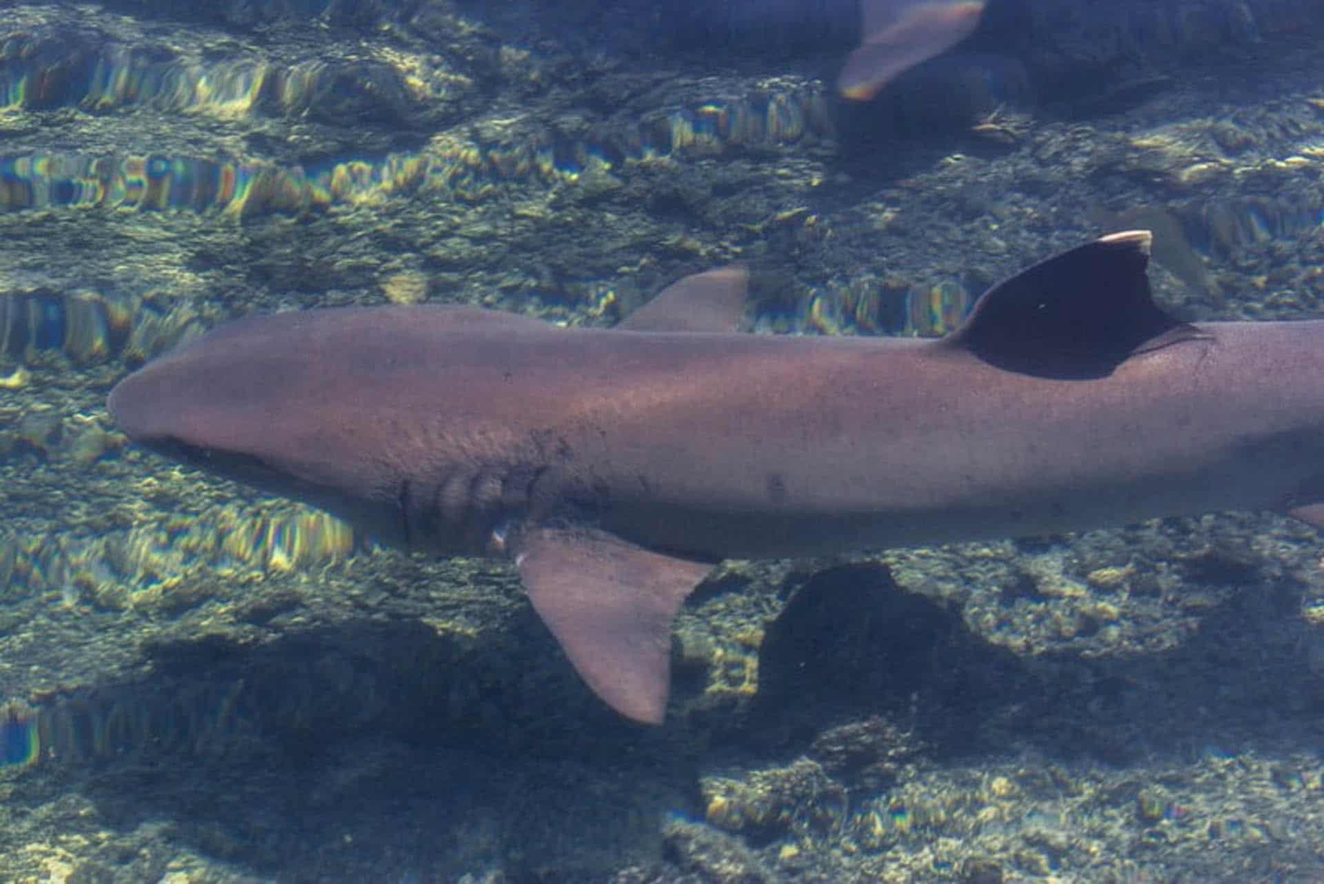 galapagos islands species of shark