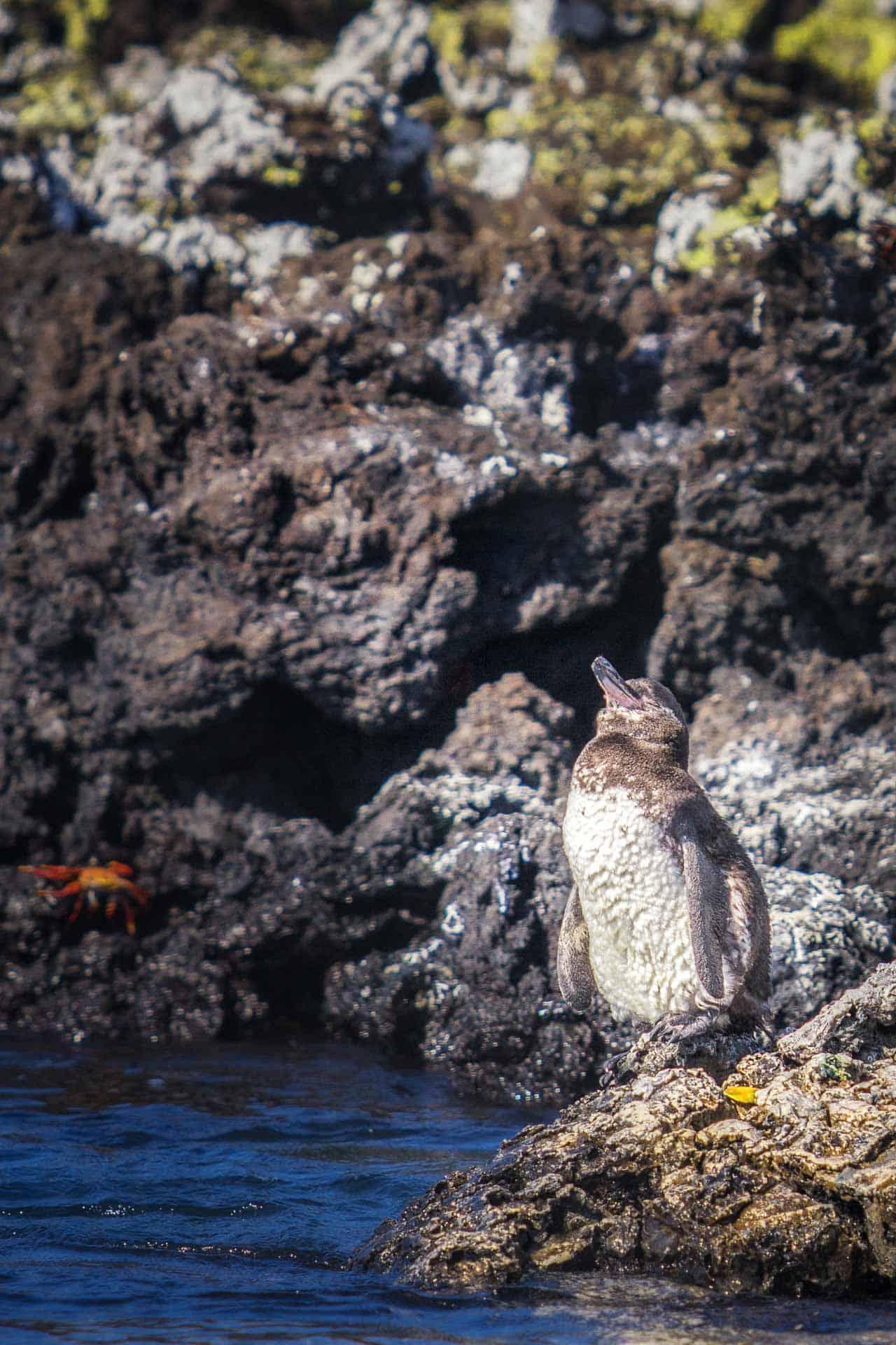 galapagos islands animals penguin