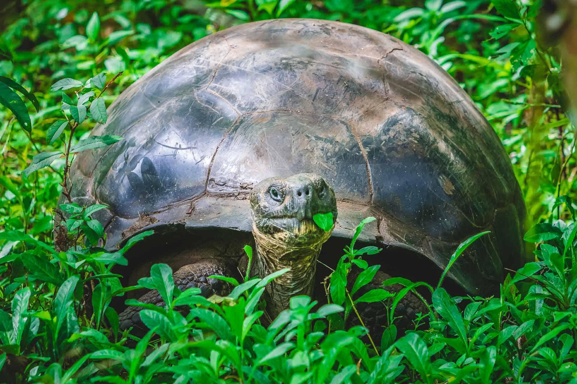 animals of the galapagos giant galapagos tortoise