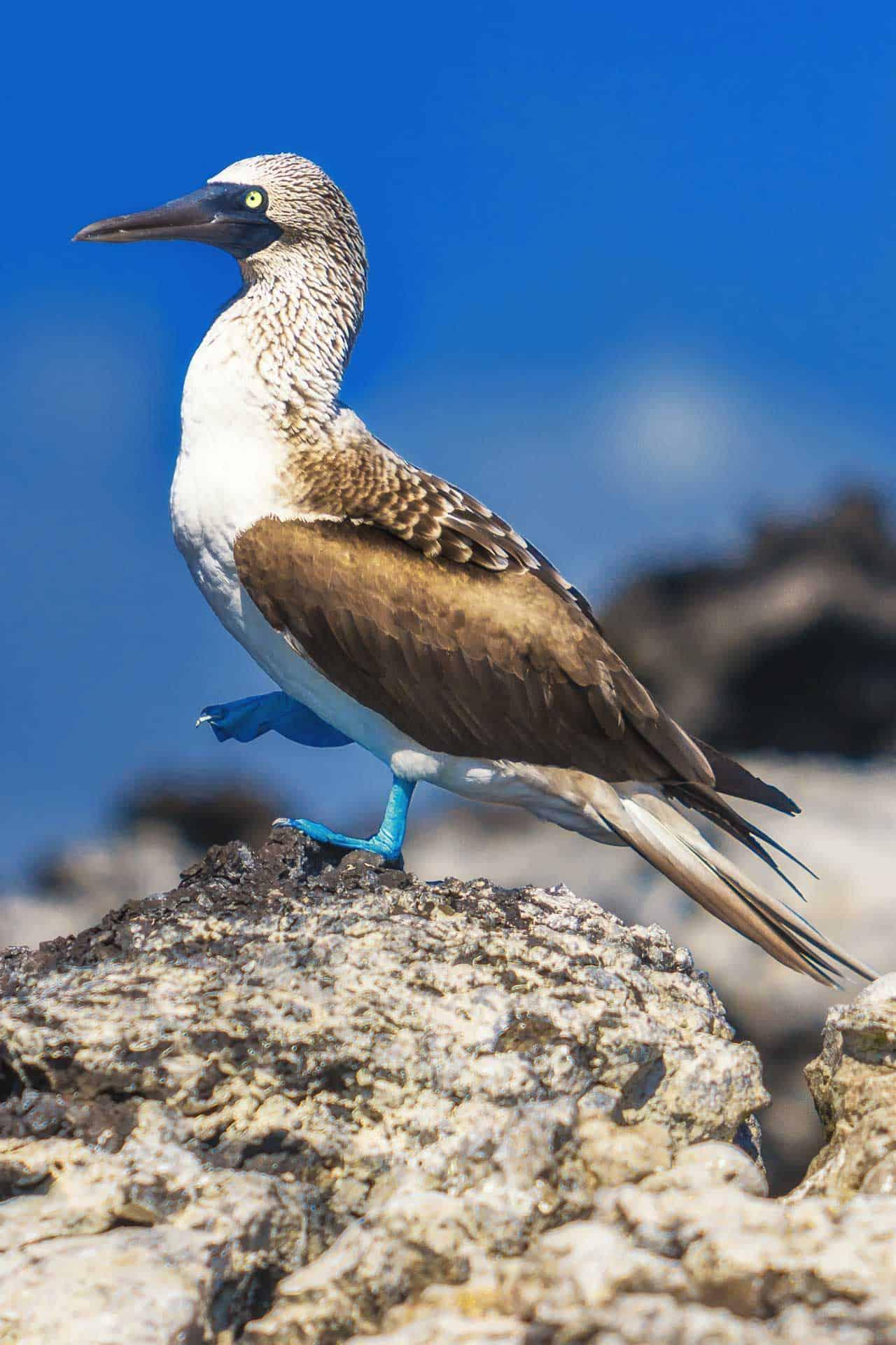 galapagos wildlife - blue footed boobies