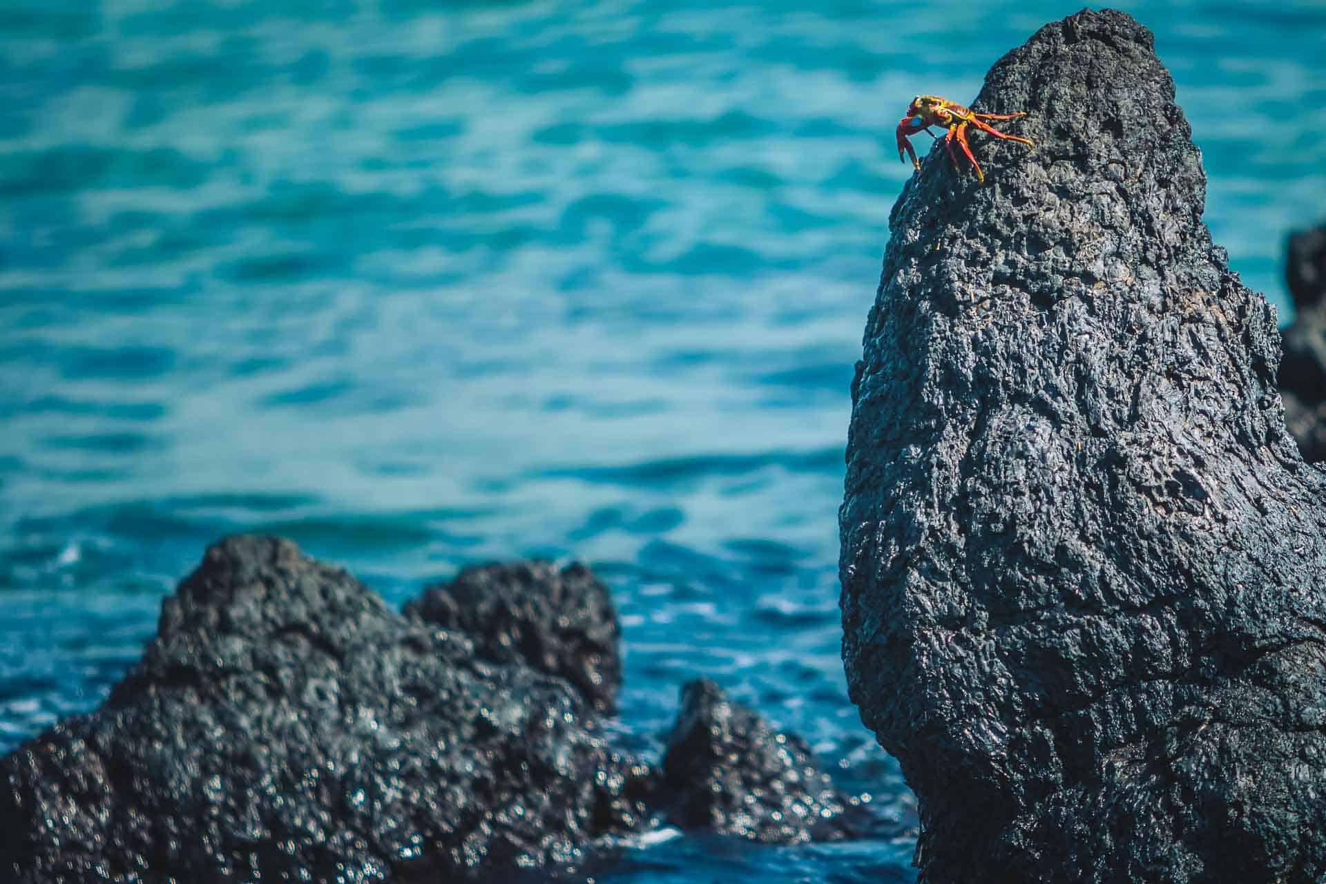 jumping crab galapagos